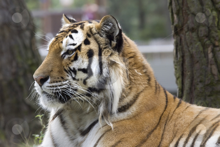 Tiger Portrait stock photo, Portrait of a tiger by Inge Schepers