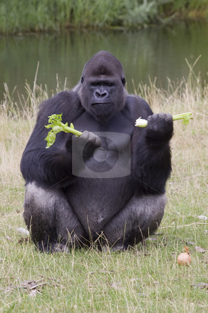 Gorilla stock photo, Gorilla eating its afternoon snack at the zoo by Inge Schepers