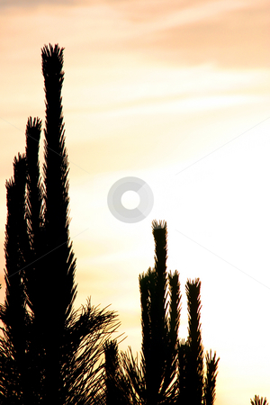 Cactus Silhouette stock photo, Bushes and Cactus in Silhouette by Mehmet Dilsiz