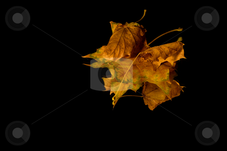 Isolated Close up on Three Leaves stock photo, Isolated Close up on Three Leaves - Black background by Mehmet Dilsiz