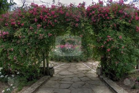Arc of roses stock photo, Arc of roses by Minka Ruskova-Stefanova