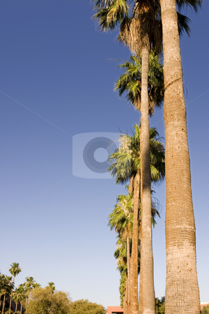 Palm Trees in a Row from the Ground stock photo, Palm Trees in a Row with Clear Skies - Ground View by Mehmet Dilsiz