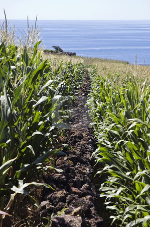 Stone wall in corn field  stock photo, Lava stone wall in corn field by the sea. Pico Island, Azores, Portugal by Manuel Ribeiro