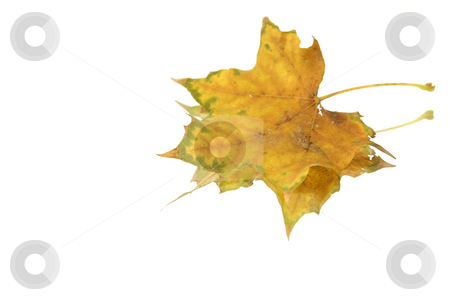 Isolated Leaf stock photo, Isolated Leaf by Mehmet Dilsiz