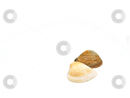 Seashells Side by Side stock photo, Two Seashells side by side White Upfront by Mehmet Dilsiz