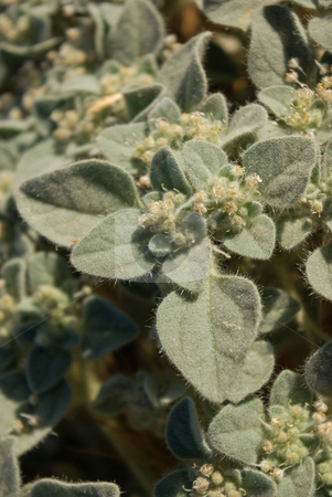 Fuzzy Leaves 2 stock photo, A fuzzy-leafed plant. by Kristine Keller