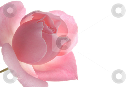Pink Rose, White Background 2 stock photo,  by Kristine Keller