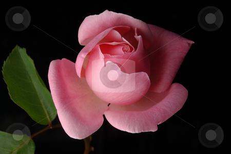 Pink Rose, Black Background 1 stock photo,  by Kristine Keller
