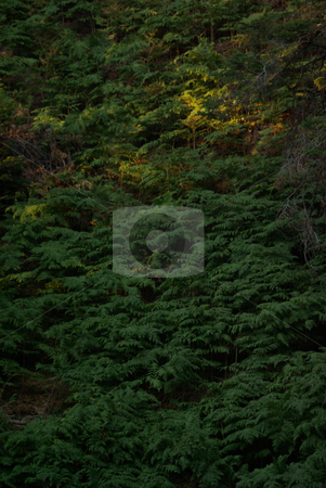 Ferns stock photo, Ferns on a mountainside, partially lit by the setting sun. by Kristine Keller