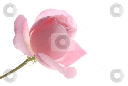 Pink Rose, White Background 1 stock photo,  by Kristine Keller