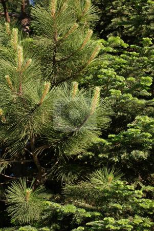 Pine Needles stock photo,  by Kristine Keller