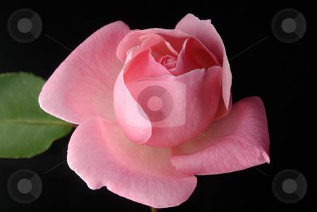 Pink Rose, Black Background 2 stock photo,  by Kristine Keller