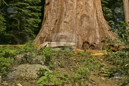 Redwood Tree 2 stock photo,  by Kristine Keller