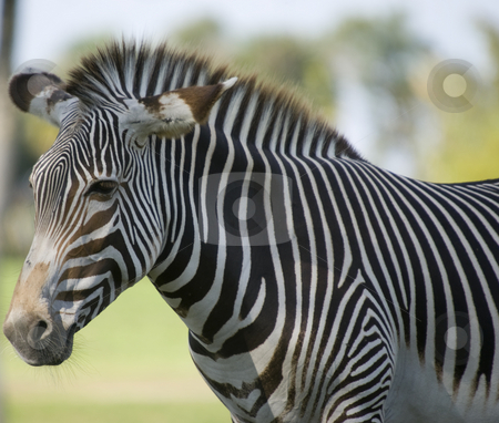 Zebra stock photo, Damara Zebra (equus burchelli antiquorum)  - landscape orientation by Stephen Meese