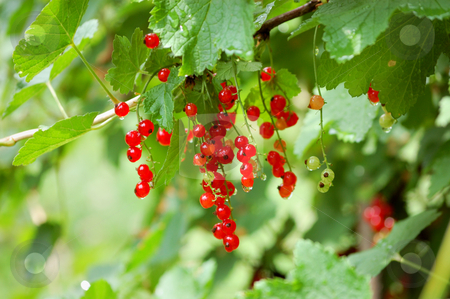 Red ribes stock photo, Red ribes in natural environment after rain by ALESSANDRO TERMIGNONE