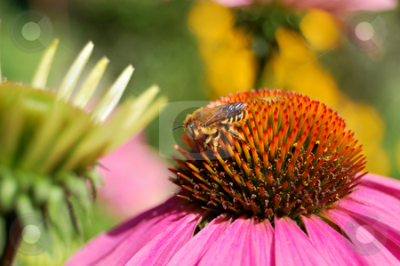 Bee on a blossom stock photo, Closeup of a bee on a blossom by ALESSANDRO TERMIGNONE
