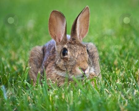 Brown Rabbit stock photo, Wild rabbit lying in the grass by Bill Fehr