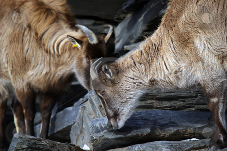 Himalayan Tahr stock photo, Two Himalayan Tahr in a mountain environment by Alain Turgeon