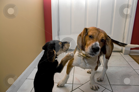 Two Dogs Playing stock photo, Two young dogs play fighting indoors. The puppy is going for the beagles ears. by Todd Arena