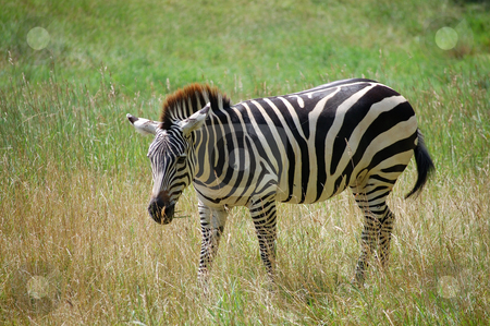 Zebra grazing stock photo,  by Heather Shelley
