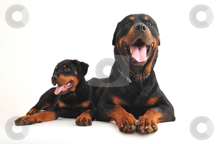 Two rottweilers stock photo, Portrait of an adult rottweiler and his puppy by Bonzami Emmanuelle