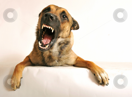 Aggressive dog stock photo, Portrait of a very angry purebred belgian shepherd malinois by Bonzami Emmanuelle