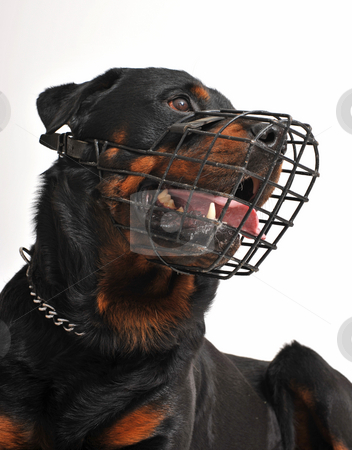 Rottweiler with muzzle stock photo, Portrait of a purebred rottweiler with his muzzle by Bonzami Emmanuelle