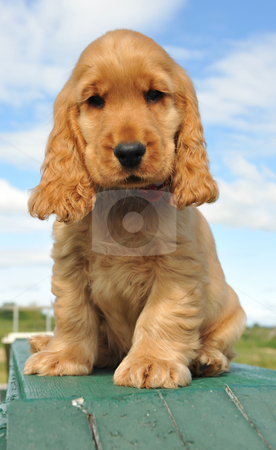 Puppy spaniel cocker stock photo, Young puppy purebred english cocker sitting outdoor by Bonzami Emmanuelle