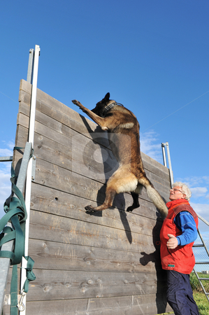 Training of police dog stock photo, Training of a police dog with a purebred belgian shepherd malinois by Bonzami Emmanuelle
