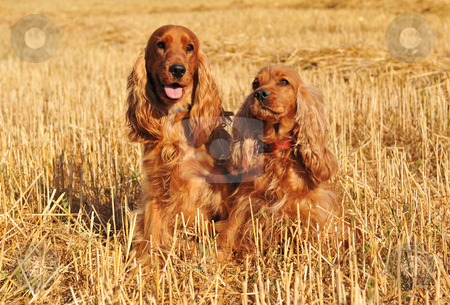 Two cockers stock photo, Couple of purebred cocker spaniel in a meadow of wheat by Bonzami Emmanuelle