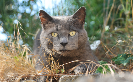 Chartreux cat stock photo, Chartreux cat with yellow eyes in a garden by Bonzami Emmanuelle