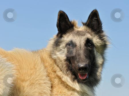 Tervuren stock photo, Portrait of a purebred belgian shepherd tervuren by Bonzami Emmanuelle