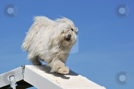 Maltese dog stock photo, Purebred maltese dog in a competition of agility by Bonzami Emmanuelle