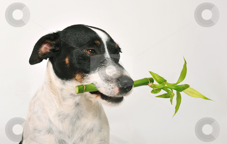 Zen stock photo, A jack russel terrier carry a lucky bambou in his mouth by Bonzami Emmanuelle