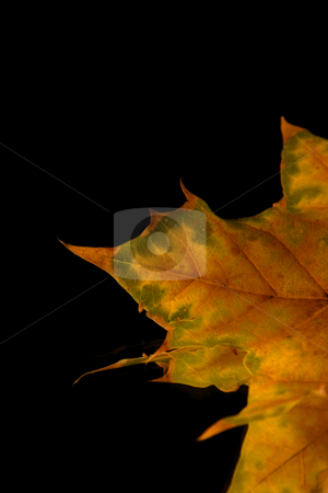 Isolated Close up on a Leaf Tip stock photo, Isolated Close up on a Leaf Tip - Black background by Mehmet Dilsiz