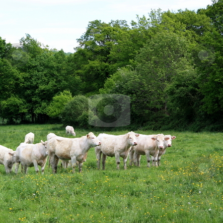 Charolais Cows stock photo, A small herd of charolais cows ina green pasture. by Gozzoli