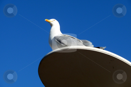 Seagull On Perch stock photo, A seagull that is perched on a lamppost. by Chris Harvey