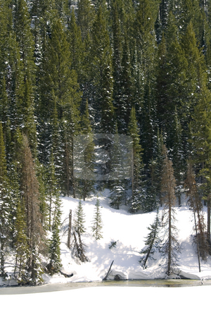Trees on the Hill stock photo, Snowy Mountains in Winter with Tall Trees by Mehmet Dilsiz