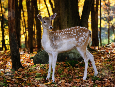 Fallow deer stock photo, A beautiful fallow deer in a colorful autumn forest by Alain Turgeon