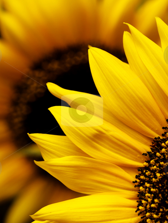 Sunflower macro stock photo, Macro of two beautiful sunflowers with selective focus by Laurent Dambies