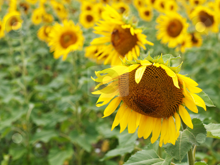 Sunflower  field stock photo, Beautiful sunflower field with selective focus by Laurent Dambies