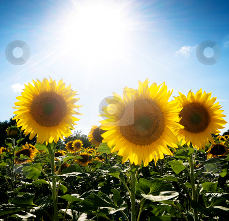 Sunflower  field under the sun stock photo, Beautiful sunflower field under blue with bright sun by Laurent Dambies