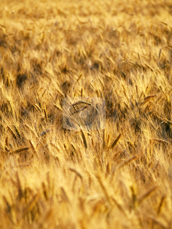 Golden wheat field  stock photo, Golden wheat field closeup in summer by Laurent Dambies
