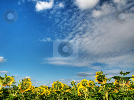 Sunflower  field stock photo, Beautiful sunflower field under blue sky and clouds hdr processed by Laurent Dambies