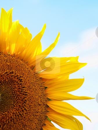 Sunflower macro stock photo, Macro of a beautiful sunflower against pale blue sky with few clouds by Laurent Dambies