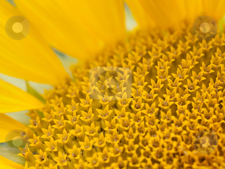 Sunflower macro stock photo, Macro of the inside of a sunflower by Laurent Dambies