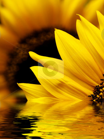 Sunflower macro stock photo, Sunflower macro with water reflection by Laurent Dambies