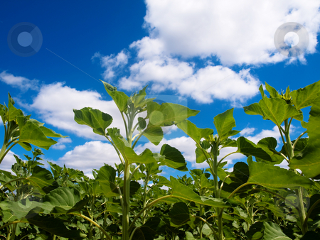 Sunflower  field stock photo, Ground view of a beautiful green sunflower field under blue sky with clouds by Laurent Dambies
