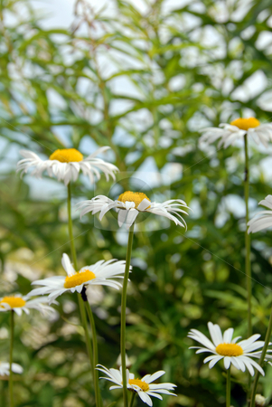 Summer daisies stock photo, White daisy flowers blooming over blur green floral background by Julija Sapic