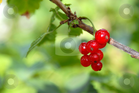 Red currants stock photo, Red currants on branch over blur green natural background by Julija Sapic